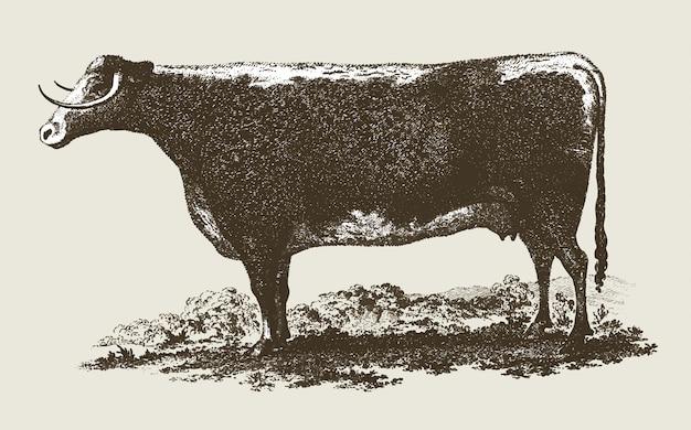 Винтажная иллюстрация коровы