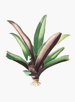 Винтажная иллюстрация лодочной лилии