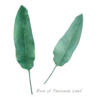白い背景に隔離された鳥のパラダイスの葉
