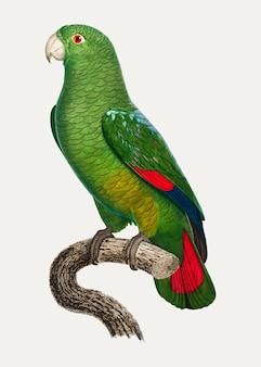 Черноклювый попугай