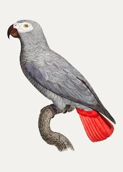 コンゴ灰色のオウム