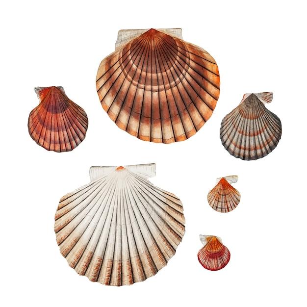 Сорта моллюсков