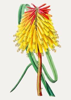 レッドホットポーカーの花