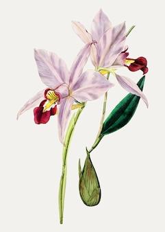 カトレアの花