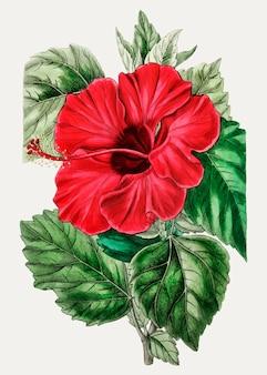 Роза мальвы