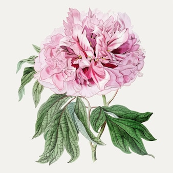ピンクの木の牡丹