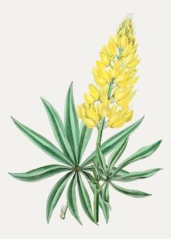 黄色ブッシュルピナス