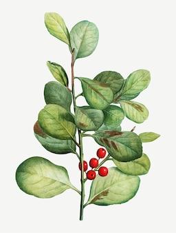 リンゴンベリー植物