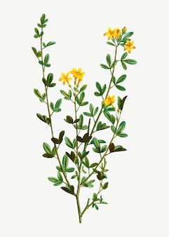 Желтые цветы жасмина