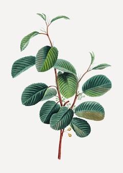 高山クロウメモドキの枝