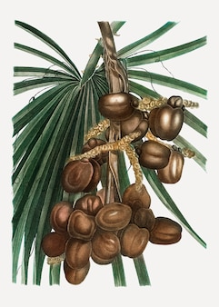 ナツメヤシ植物