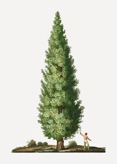 イングリッシュオークの木