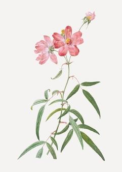 咲くピンクのバラ