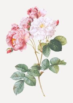 Розовая дамская роза