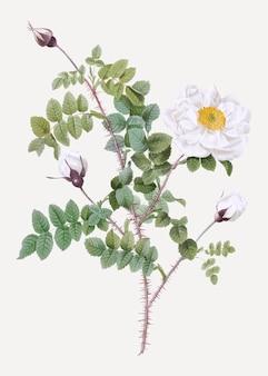 白いバーネットバラ
