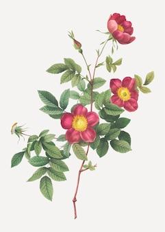咲くアルパインローズ