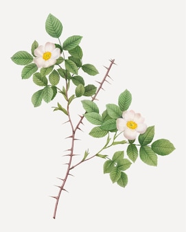 Винтажная роза дематры