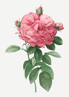 Гигантская французская роза