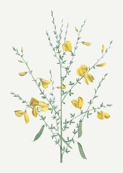 黄色のほうきの花