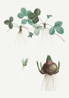 イチゴの植物