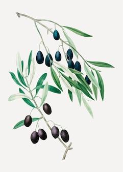オリーブの木の枝
