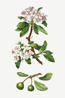 アーモンドの葉ナシの木