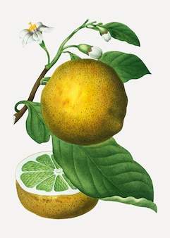 グレープフルーツの枝
