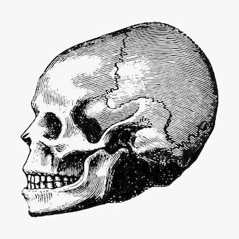 Винтажная человеческая иллюстрация черепа