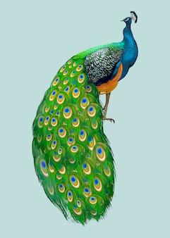 手描き孔雀