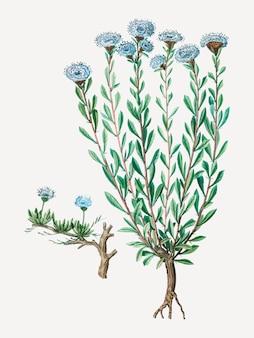 グローブデイジーの花
