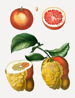 ブラッドオレンジフルーツ