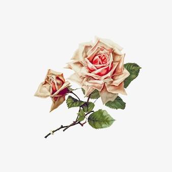 バラの花を描く