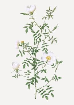 Урожай хедж-роза постер