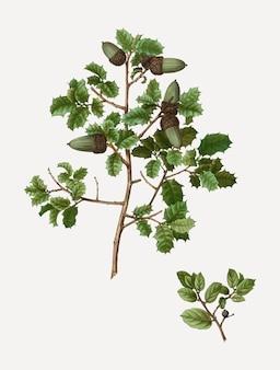 ケルメスオークの木の枝