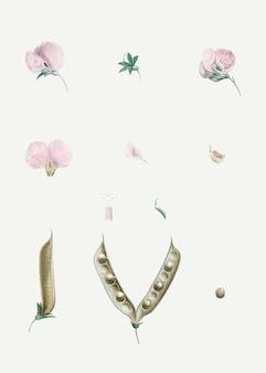 ピンクのバタフライエンドウ豆の花