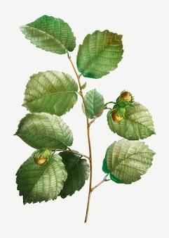 Ветка лесного ореха