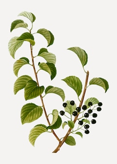 Черная сент-люси вишня