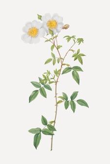 Белая плетистая роза