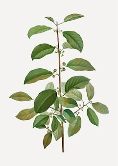 アルダークロウメモドキの木