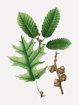 イースタンブラックオークの木の枝