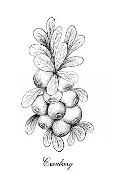 白い背景に熟したクランベリーの手描き