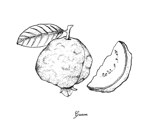 新鮮なグアバの手描き