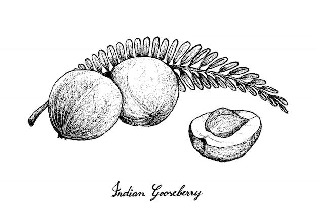 インドのグーズベリーの手描き