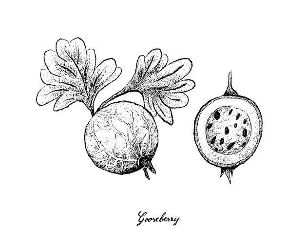 グーズベリーの手描き