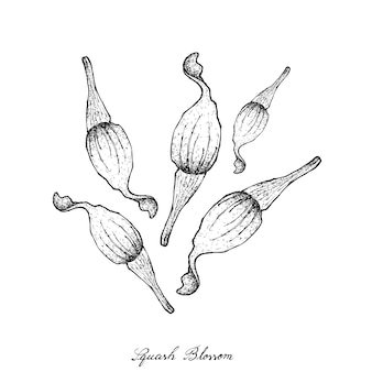 スカッシュの花の手描き