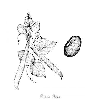 新鮮な緑のランナー豆植物の手描き