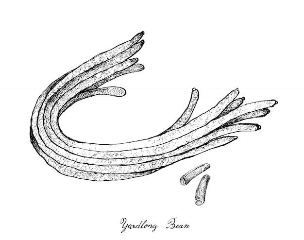 新鮮な中国の長い豆の手描き