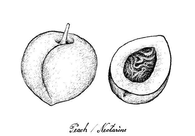 白い背景に描かれた桃やネクタリンの手