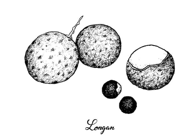 白い背景の上のリュウガン果実の手描き