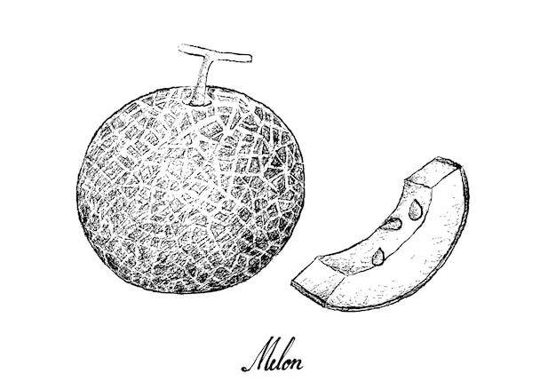 白い背景の上のメロン果実の手描き